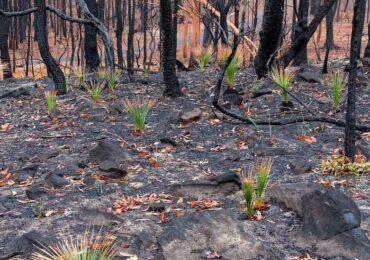 Avstraliyanın yanmış meşələri külündən yenidən cücərir (foto)